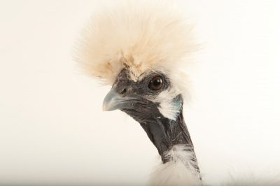 Picture of a silkie showgirl chicken (Gallus gallus domesticus) at the Fort Worth Zoo.