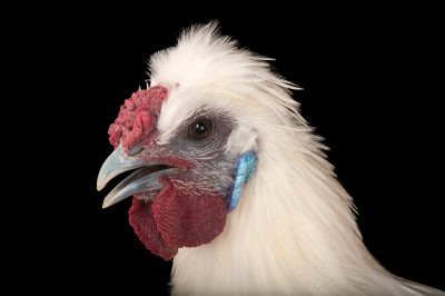 Picture of a silkie orpington chicken (Gallus gallus domesticus) in Lincoln, Nebraska.