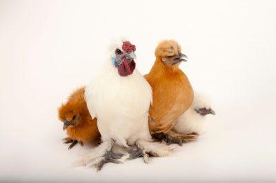 Picture of Silkie and buff orpington chickens (Gallus gallus domesticus) in Lincoln, Nebraska.