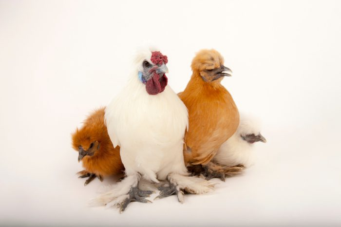 Picture of Silkie and buff orpington chickens (Gallus gallus domesticus) in Lincoln, Nebraska.