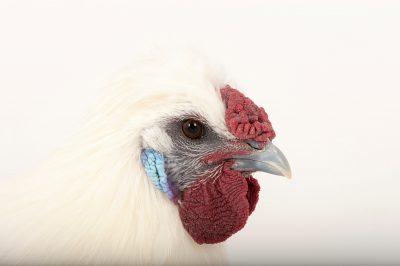 Picture of a silkie orpington chicken (Gallus gallus domesticus) in Lincoln, Nebraska.