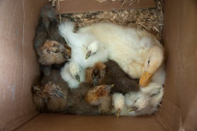 Photo: A juvenile duck and chickens roost in a box near Denton, Nebraska.