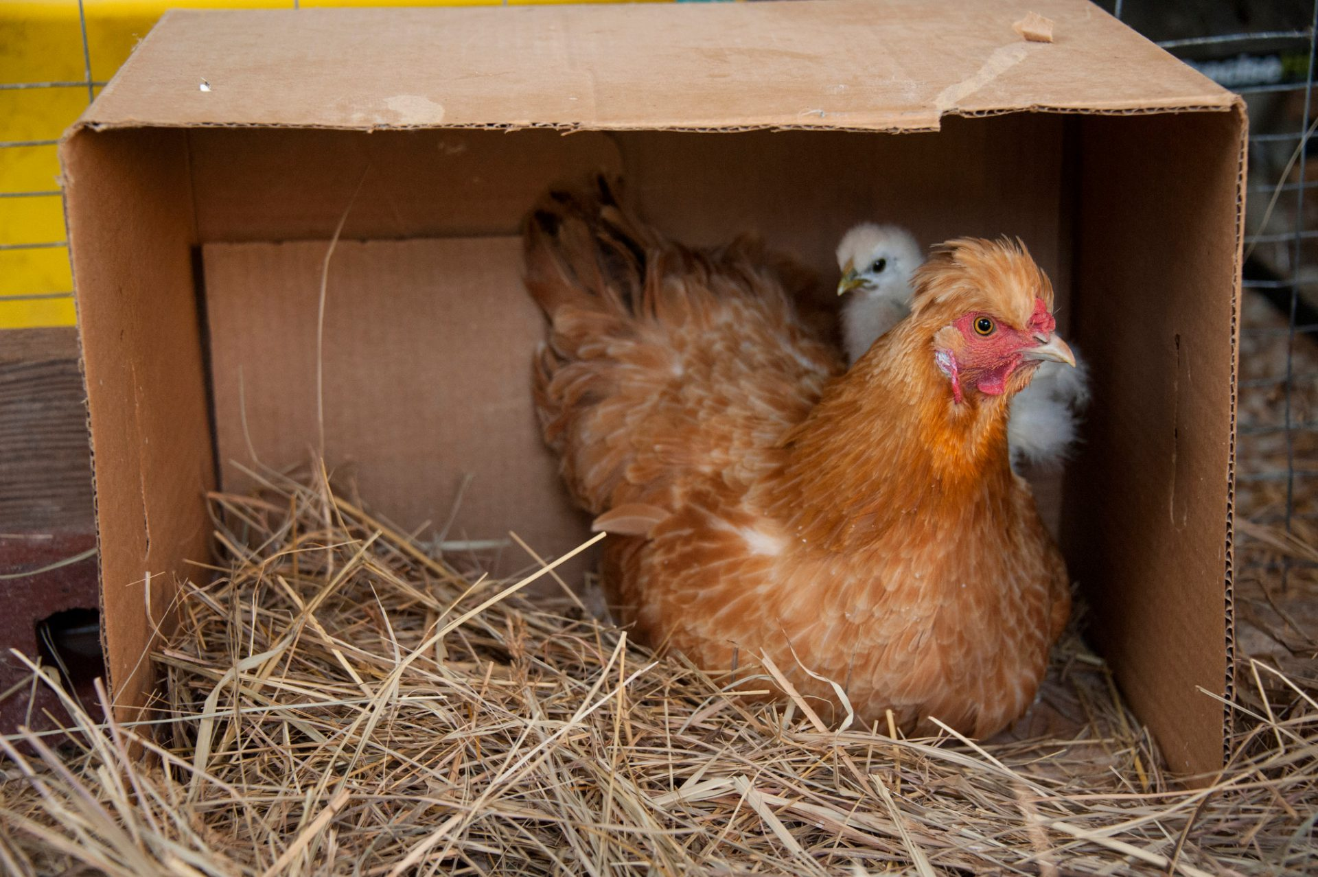 Photo: A chicken and her chick near Denton, Nebraska.