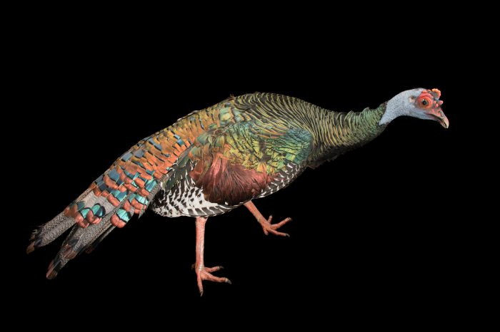Picture of an ocellated turkey (Meleagris ocellata) at the Dallas World Aquarium.