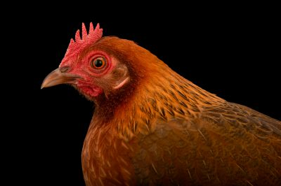 Picture of a bantam hen (Gallus gallus domesticus) named 'Omelette'.