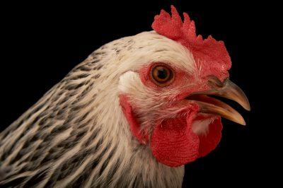 Picture of a silver-laced wyandotte hen (Gallus gallus domesticus) named 'Bonnie.'