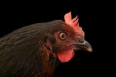 Picture of a black sex-link hen (Gallus gallus domesticus).