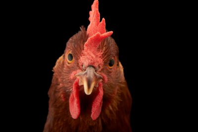 Picture of a New Hampshire Red hen (Gallus gallus domesticus) named 'Penny'.