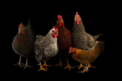 Picture of a Plymouth-barred rock, silver-laced wyandotte, New Hampshire red, a black sex-link and a bantam hen chicken (Gallus gallus domesticus) in Lincoln, Nebraska.