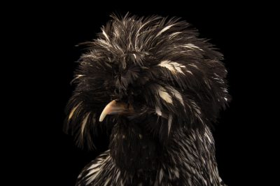Picture of a silver crested Polish chicken (Gallus gallus domesticus) at the Knoxville Zoo.