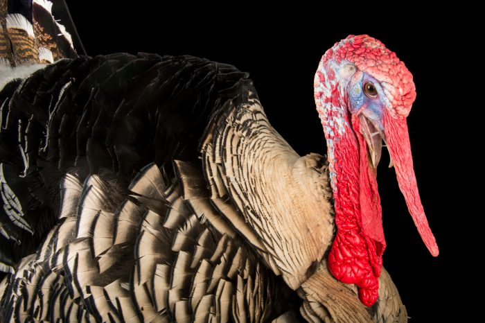 Picture of a Narragansett turkey at the Knoxville Zoo.