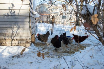 Photo: Laying hens in a fresh snow at a home in Lincoln