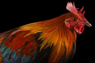 Photo: A male red jungle fowl (Gallus gallus) at the Assam State Zoo cum Botanical Garden.