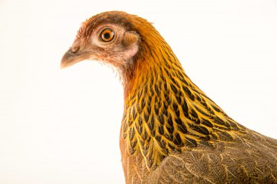 Photo: A female red junglefowl (Gallus gallus gallus) at the Plzen Zoo in the Czech Republic.