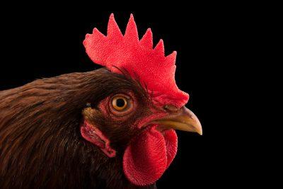 Photo: A Rhode Island red domestic chicken (Gallus gallus domesticus) in Lincoln, Nebraska.