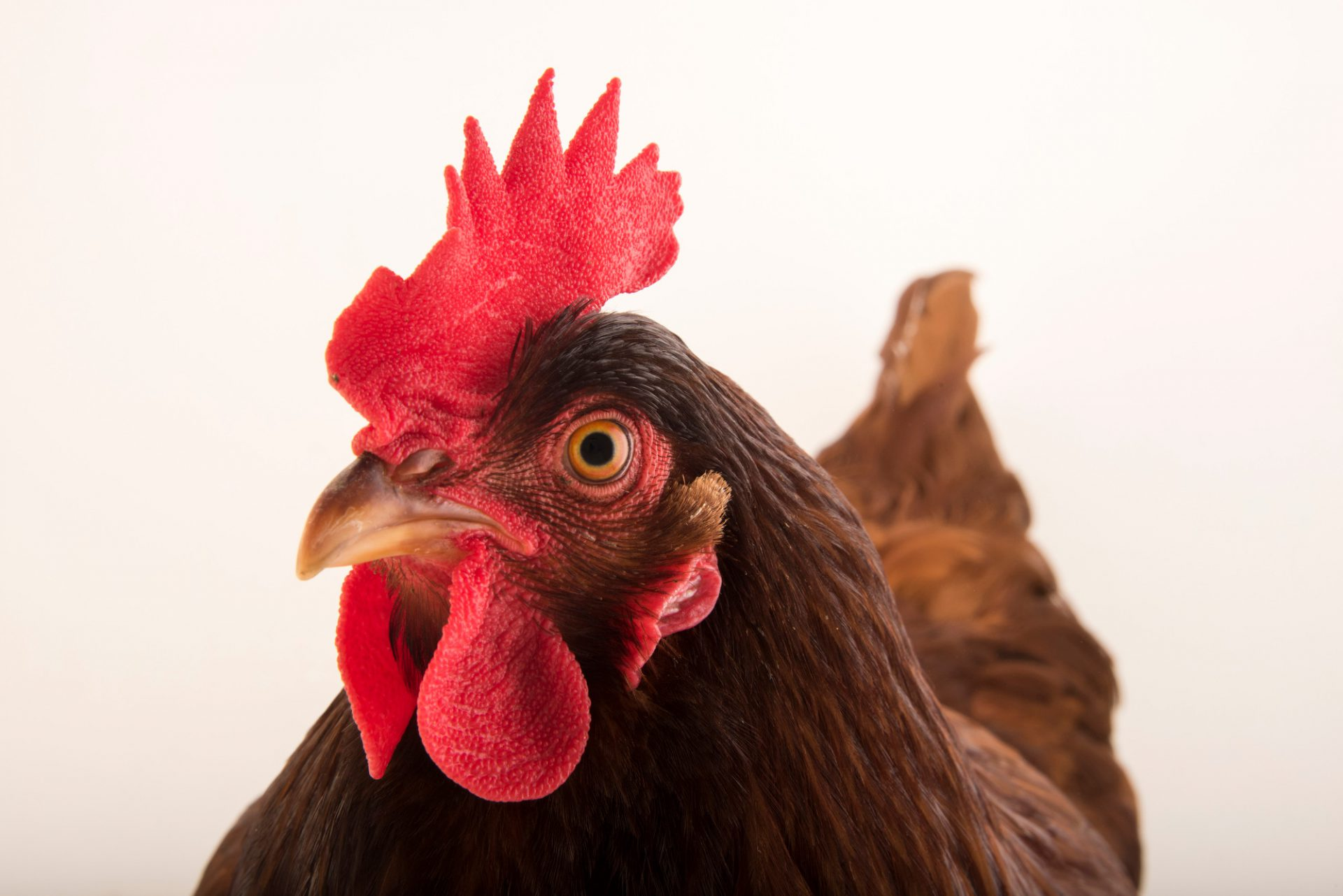 Photo: A Rhode Island red domestic chicken (Gallus gallus domesticus) in Lincoln, Nebraska.