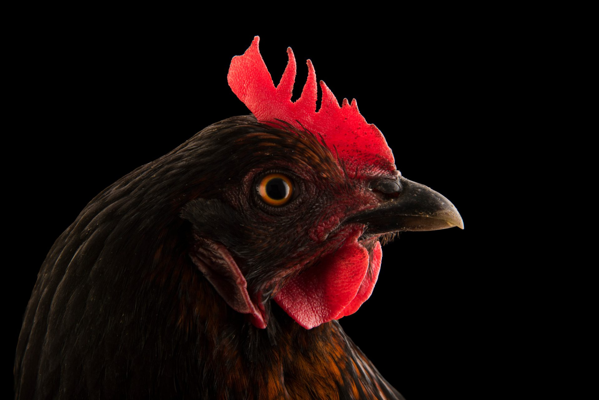 Photo: A domestic chicken (Gallus gallus domesticus) in Lincoln, Nebraska.
