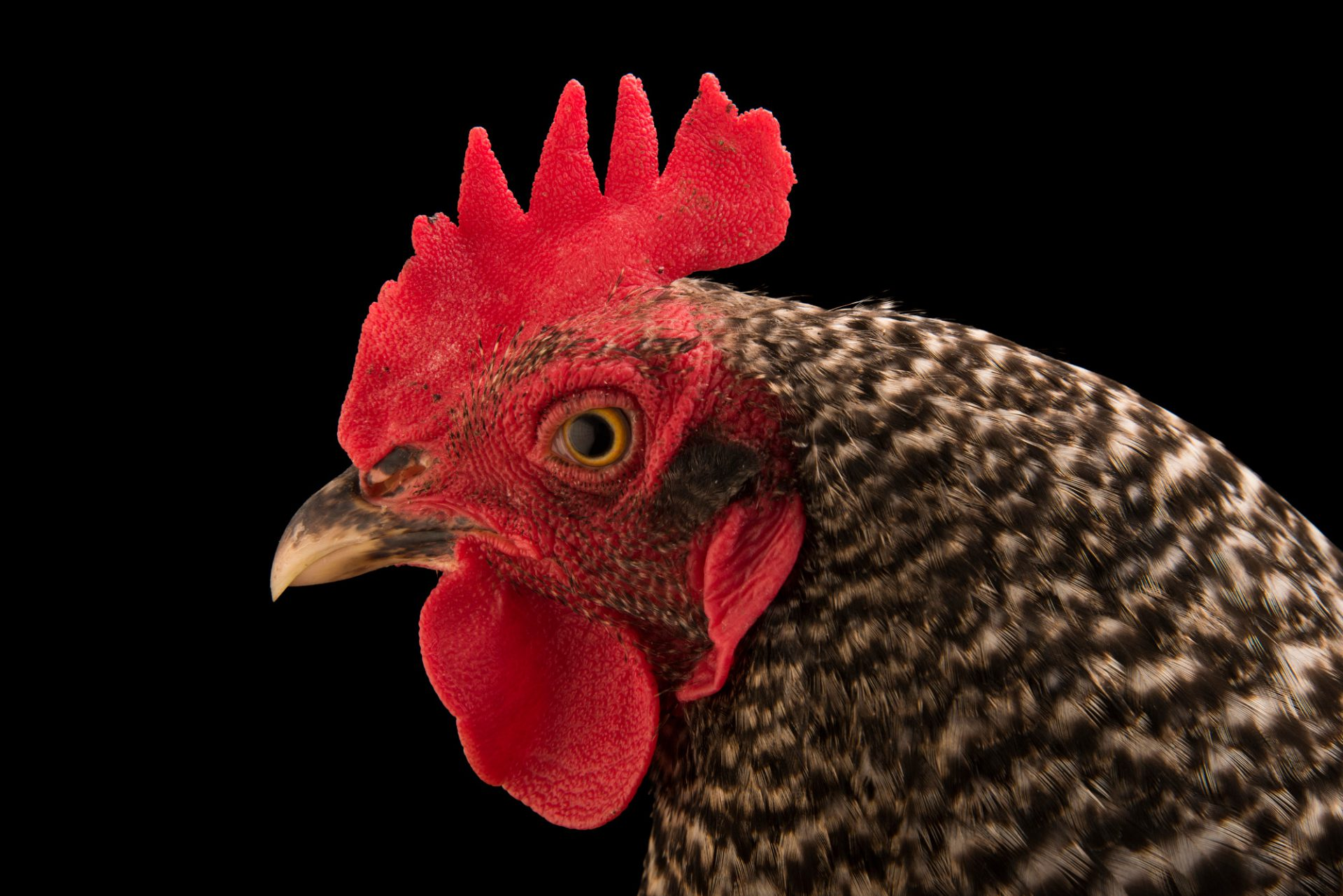 Photo: A Plymouth Rock domestic chicken (Gallus gallus domesticus) in Lincoln, Nebraska.