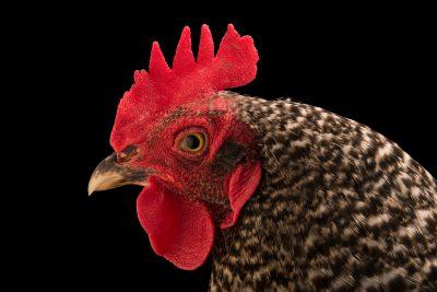 Photo: A Plymouth Rock domestic chicken (Gallus gallus domesticus) in Lincoln, Nebraska.