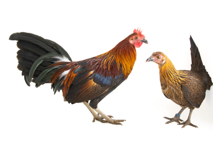 Photo: A male and a female Indian red junglefowl (Gallus gallus murghi) at a private collection.