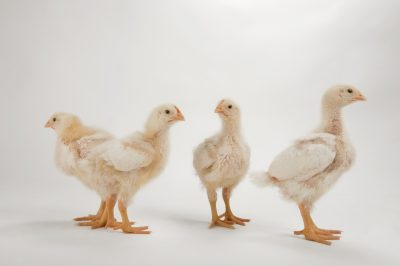 Photo: A studio portrait of a brood of Cornish chicks, Gallus gallus domesticus.
