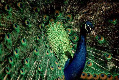 Photo: A captive peacock displays its ornate plumage.