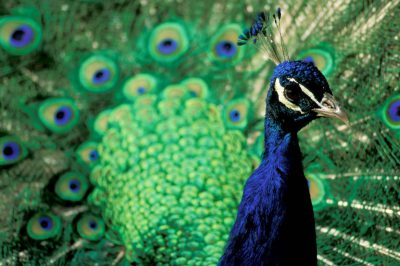 Photo: A captive peacock displays its ornate plumage.