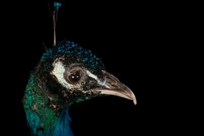 Indian blue peafowl (Pavo cristatus) at the Lincoln Children's Zoo.