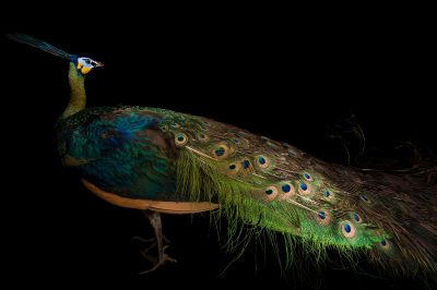 Picture of an endangered java green peafowl (Pavo muticus muticus) at the Houston Zoo.