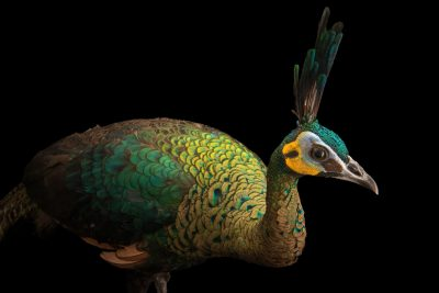 Photo: A hen Indochinese green peafowl (Pavo muticus imperator) at Angkor Center for Conservation of Biodiversity (ACCB).