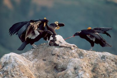 Juvenile California condors, (Gymnogyps californianus) critically endangered and federally endangered, recently released into the wild, feed on a calf that was left for them by biologists. (Los Padres Nat'l Forest)