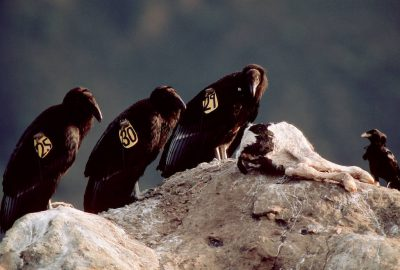 Juvenile California condors, (Gymnogyps californianus) critically endangered (IUCN) and federally endangered, recently released into the wild, feed on a calf that was left for them by biologists. (Los Padres Nat'l Forest)