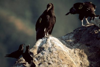 Photo: Juvenile California condors (endangered), recently released into the wild, feed on a calf that was left for them by biologists.