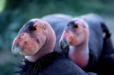 Male and female California condors, (Gymnogyps californianus), (mated pair) at the San Diego Wild Animal Park. (IUCN: Critically endangered, US: Endangered)