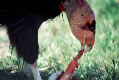 A critically endangered (IUCN) and federally endangered California condor, (Gymnogyps californianus), during feeding time at the San Diego Wild Animal Park.