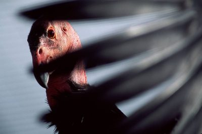 A California condor, (Gymnogyps californianus), critically endangered (IUCN) and federally endangered peers through wing feathers at the San Diego Wild Animal Park.