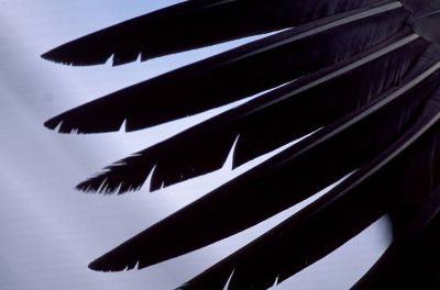 Primary feathers of a California condor, (Gymnogyps californianus), critically endangered (IUCN) and federally endangered at the San Diego Wild Animal Park.