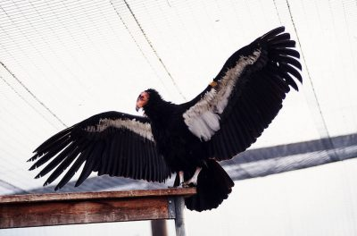 A California condor, (Gymnogyps californianus), critically endangered (IUCN) and federally endangered; displays its wingspan at the San Diego Wild Animal Park.