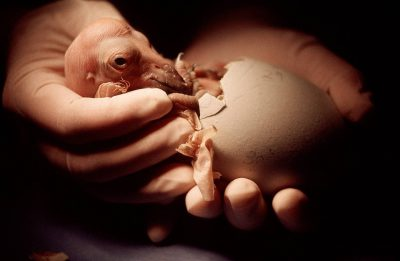 A biologist holds a newly hatched California condor chick, (Gymnogyps californianus), critically endangered (IUCN) and federally endangered; at the San Diego Wild Animal Park's captive breeding facility.
