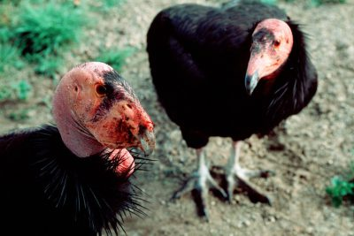 A mated pair of critically endangered (IUCN) and federally endangered California condors, (Gymnogyps californianus), display for each other at the San Diego Wild Animal Park.