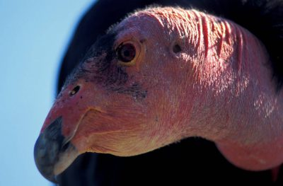 Portrait of an adult California condor, (Gymnogyps californianus), critically endangered (IUCN) and federally endangered. This species was brought back from the brink of extinction throughcaptive breeding programs.