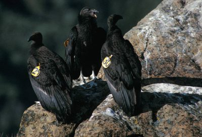 Juvenile California condors, (Gymnogyps californianus), critically endangered (IUCN) and federally endangered; recently released into the wild.
