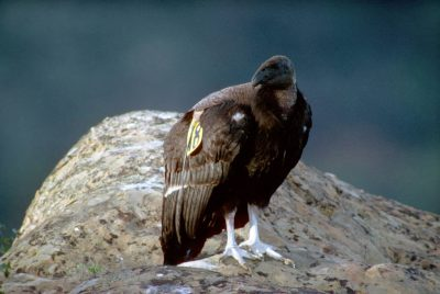 A juvenile California condor, (Gymnogyps californianus), critically endangered(IUCN) and federally endangered; recently released into the wild.