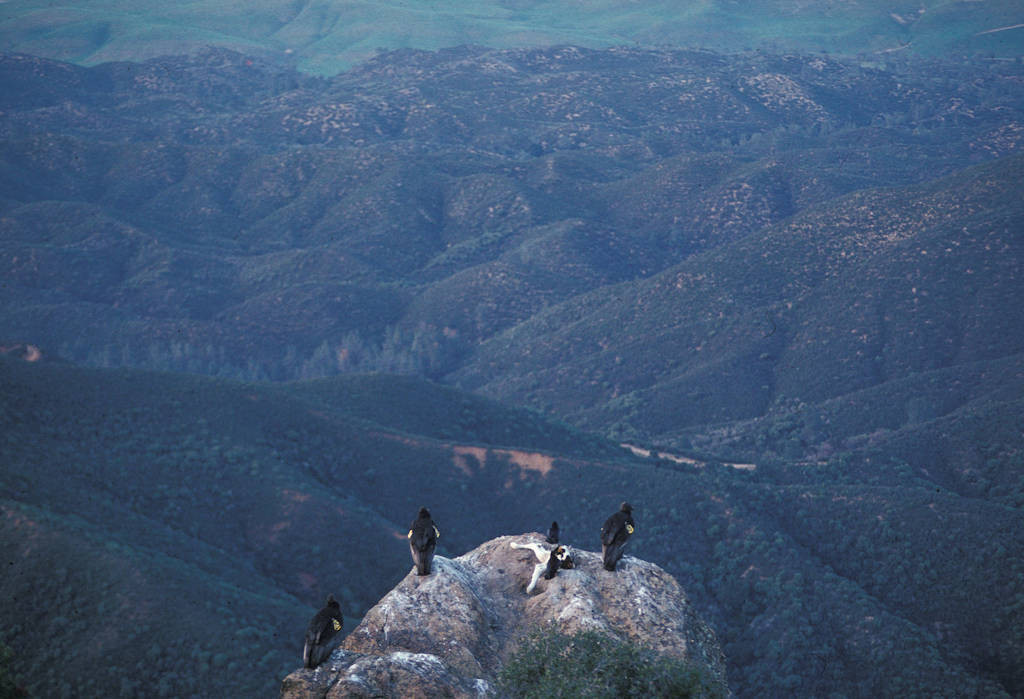 Four juvenile condors, (Gymnogyps californianus), feed on a partial dairy calf provided for them by biologists at Los Padres National Forest in California. These one-year-old birds are the first to be released into the wild after being reared by their own parents, rather than puppets. (IUCN: Critically endangered, US: Endangered)