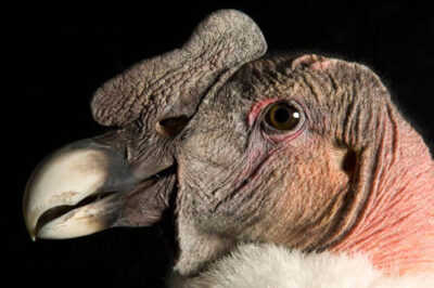 Picture of a federally endangered Andean condor (Vultur gryphus) at the Lowry Park Zoo.
