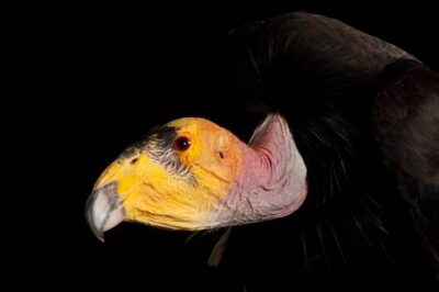 A captive critically endangered (IUCN) and federally endangered California condor (Gymnogyps californianus) at the Phoenix Zoo.