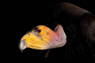 A captive critically endangered (IUCN) and federally endangered California condor (Gymnogyps californianus) at the Phoenix Zoo.