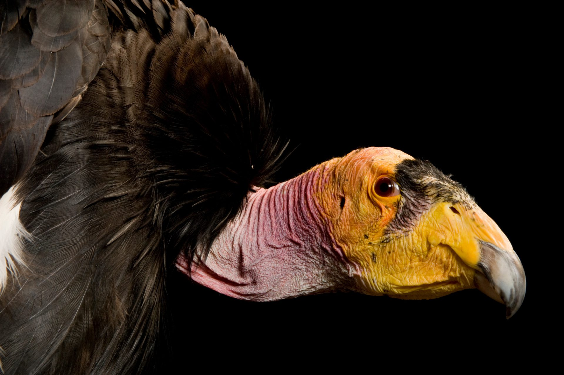 Photo: A critically endangered California condor, Gymnogyps californianus. was brought in after dislocating its wing, most likely after flying into the Navajo Bridge in N. AZ.