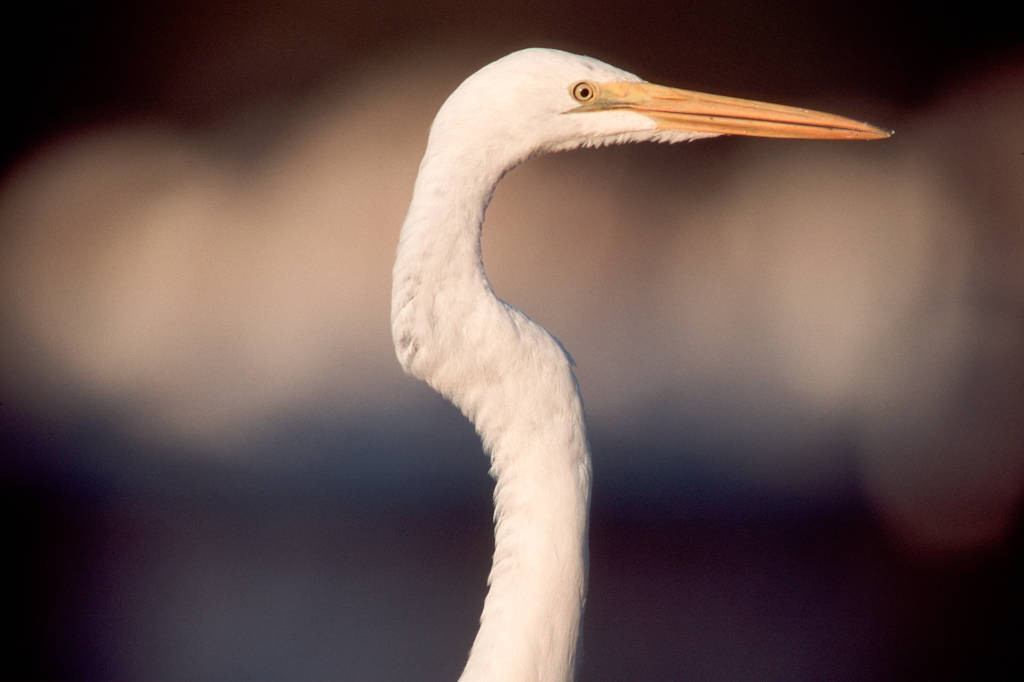 Photo: Great egret at the Ding Darling National Wildlife Refuge in Florida.