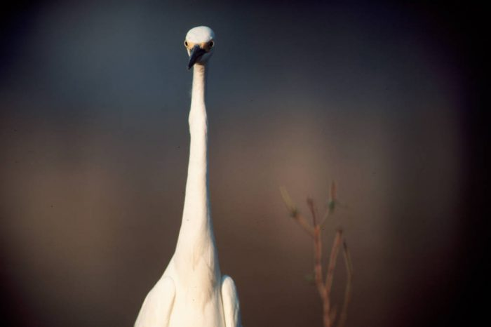 Photo: Great egret in the Florida Panther NWR.